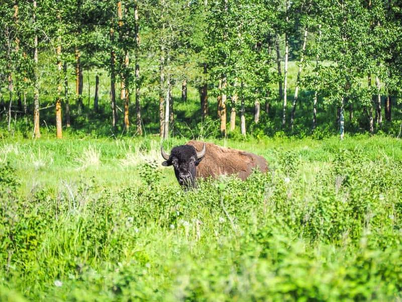 A bison in Elk Island National Park